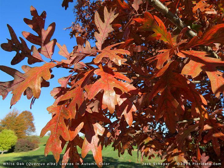 99 best Missouri Native Plants images on Pinterest Native plants