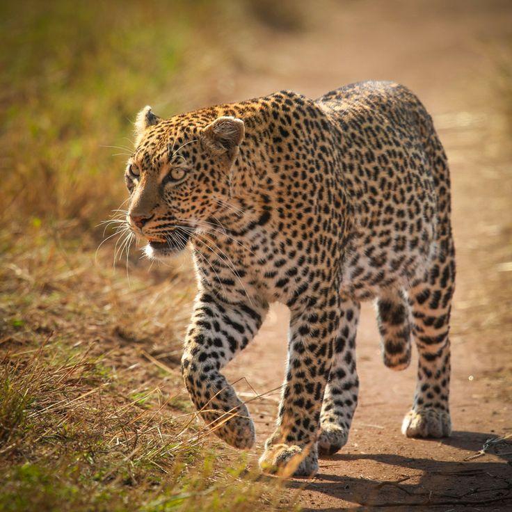 Leopard,Masai Mara by Vishwa Kiran on 500px