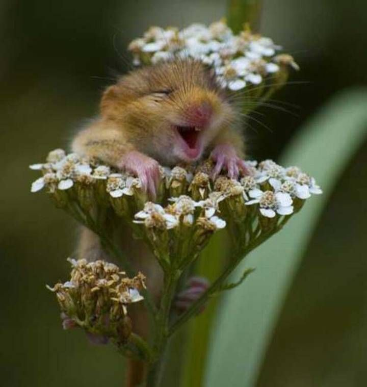 What a darling little mouse smothered in a white flower. The nearness of this photo is incredible.