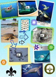 Sea turtles, sometimes called marine turtles, are reptiles of the order Testudines. #glogster #glogpedia #seaturtles