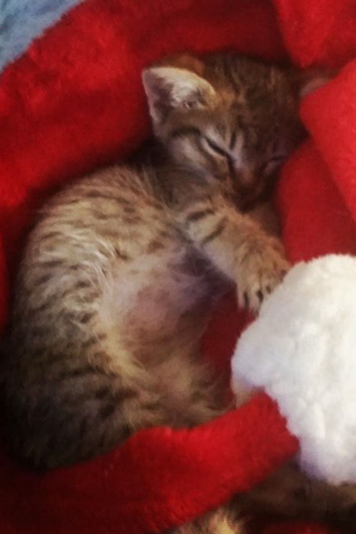 How To Introduce A New Kitten To A Cat Getting A Kitten Cat Behavior Kitten Proofing