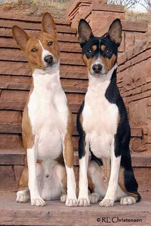 Basenji ~ cool looking dogs. I had one when I was a little. She was a great dog, supper hunter...boy birds, hamsters in neighborhood didn't have a chance. Her name was Twinkie (my niece named her).
