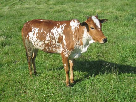 Rolling Prairie Farm | Miniature Zebu Cattle, Pigeons, and Other Exotics For Sale