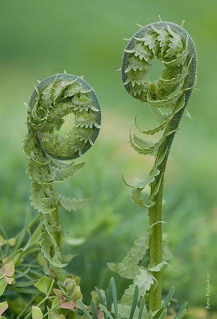 Fiddleheads...they are as wonderful to eat a they are to paint.