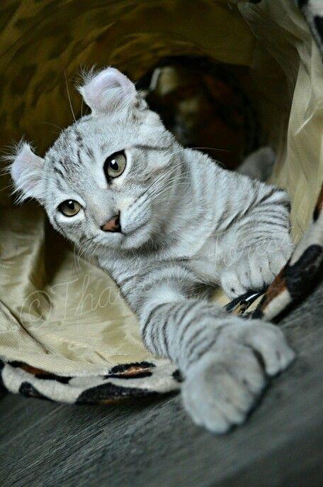 Highland lynx kitten - photo#19