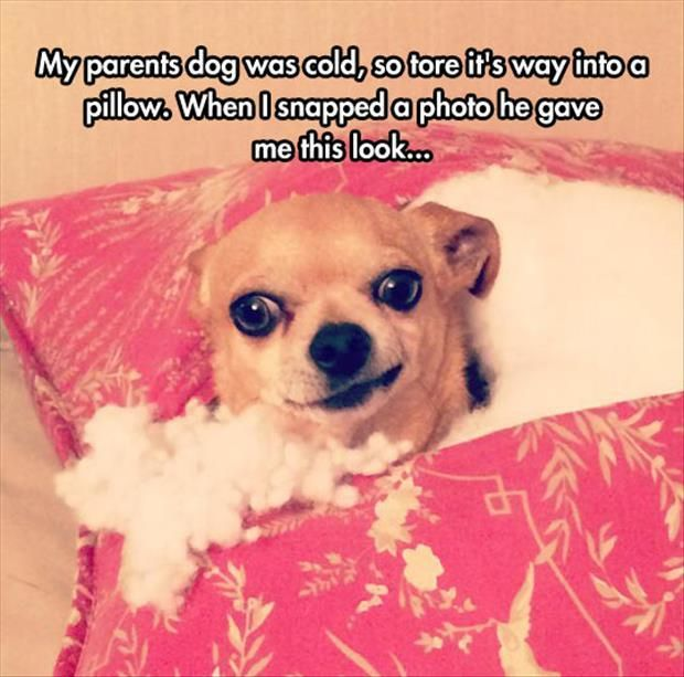 Funny Pictures Of The Day - 83 Pics: Funny Chihuahua Pictures, Funny Things, Funny Pics, Parents Dogs, Funny Pictures, Funny Stuff, Funny Photos, Funny Animal, Cute Dogs
