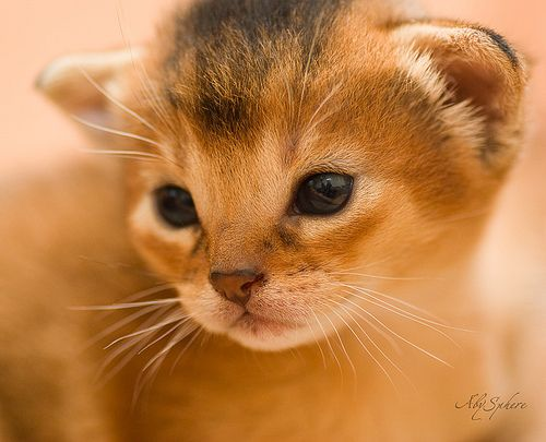 Abyssinian kitten - Spoil your kitty at www.coolcattreehouse.com