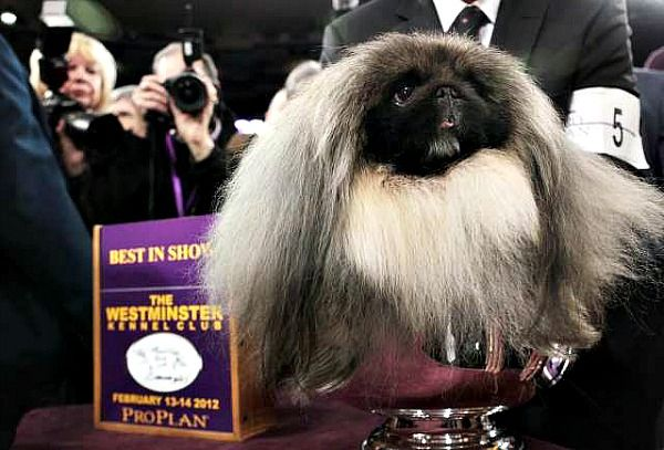 Westminster Best In Show 2012 - Pekinese namde Malacy http://latimesblogs.latimes.com/nationnow/2012/02/best-in-show-at-westminster-dog-show-a-pipsqueak-malachy.html