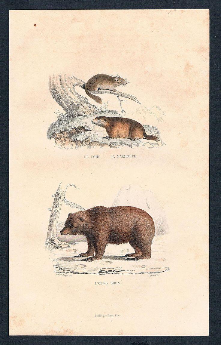 1830 - Bär bear Biber beaver animal animals Tiere Tier Stahlstich engraving | eBay
