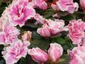 Azálea - Rhododendron simsii