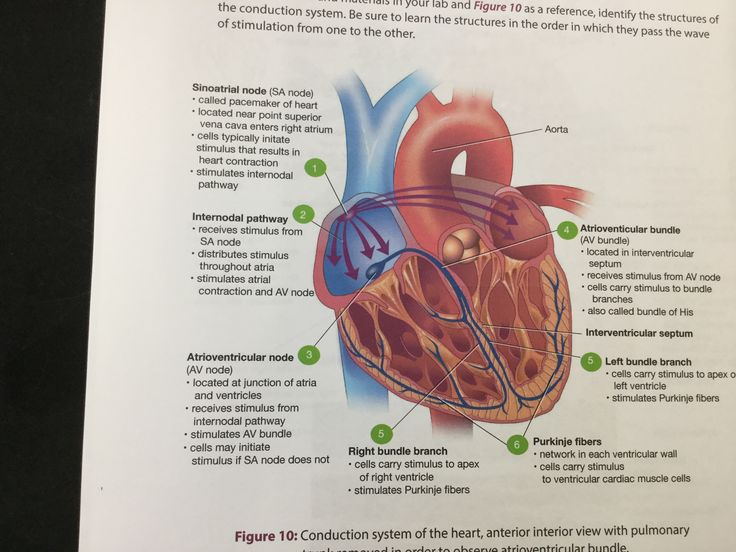 Heart Located in the mediastinum of the thoracic cavity Specifically the pericardial cavity Anterior view  Heart chambers  Great vessels  Coronary circulation  Coronary circulation posterior   Heart chambers   Heart valves    Conduction system  Layers of the pericardium