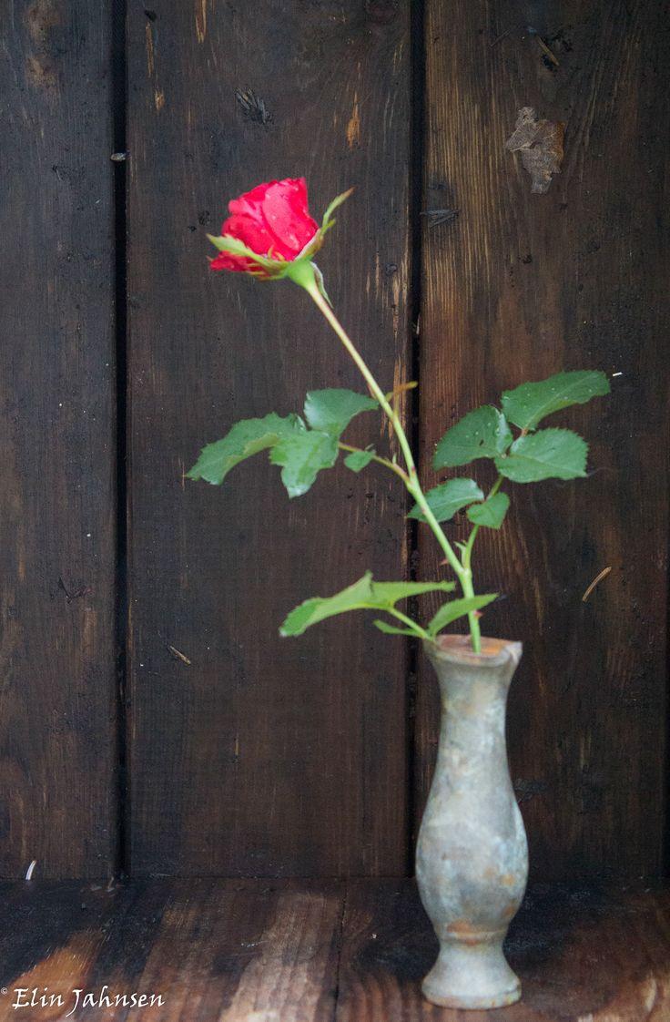 Rose i vase