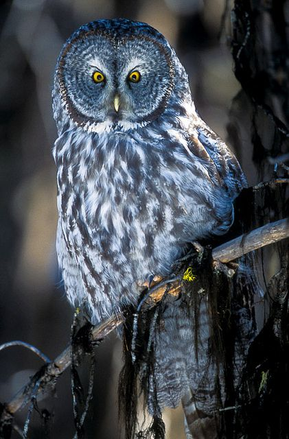 Great gray owl perched in a lodgepole forest. Yellowstone National Park, Wyoming.  Photo: Jerry Mercier via Flickr