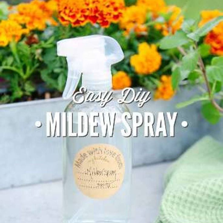 Easy DIY Mildew Spray 16 oz/500mL  Ingredients 1 Tbsp rubbing/isopropyl alcohol 40-60 drops melaleuca/tea tree essential oil (or do half melaleuca half clove bud) 2 cups (cleaning/white) vinegar  Instructions Add the alcohol and essential oil to a spray bottle. Shake the bottle to combine the ingredients. Add the vinegar to the solution.  Recipe Notes To Use: Spray problem areas with the vinegar solution. Let the solution rest for an hour then wipe the surface with a damp cloth. This spray…