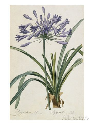 Agapanthus africanus Giclee Print by Pierre-Joseph Redouté at AllPosters.com