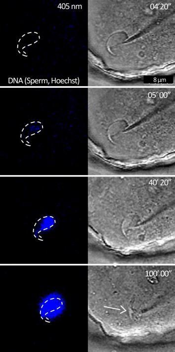 Un physicien français a filmé chez la souris les toutes premières étapes de la fécondation, un événement qui demeure mystérieux pour les scientifiques.