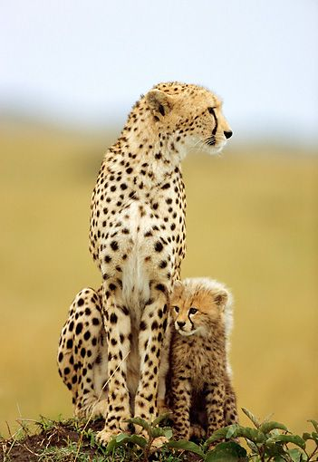 theanimaleffect: Mother And Cub Cheetah Sitting On Dirt Mound Kenya by Robert Winslow