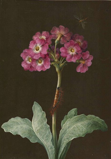 """Primula with caterpillar on its stalk and dragonfly,"" a painting by naturalist and scientific illustrator Maria Sibylla Merian, 17th - 18th centuries"
