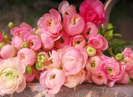 .Pink Flower, Ranunculus, Bouquets, Gardens Rose, Pink Rose, Wedding Flower, Pretty Flower, Pink Peonies, Cut Flower