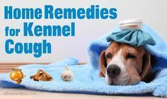 Discover 23 useful home remedies for kennel cough in dogs and cats and you will see that this condition is not your problem