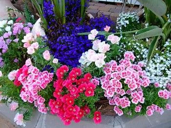 Какие низкорослые многолетники посадить, чтобы цвели все лето Источник: http://dacha-vprok.ru/kakie-nizkoroslye-mnogoletniki-posadit-chtoby-tsveli-vse-leto