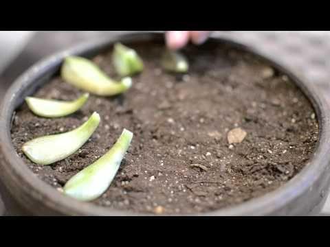 Suculentas Reproduccion por hoja Micro Yard In HD - YouTube
