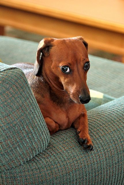 You are totally unfair and do not love me for punishing me for a crime I was totally justified in committing. Operation Guilt Trip shall commence.: Face, Animals, Dogs, Pets, Weenie, Funny, Doxies