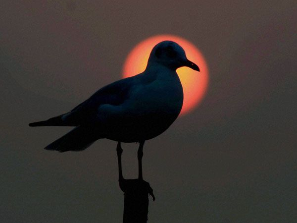 A siberian sea gull during the sunset at Sangam in Allahabad.