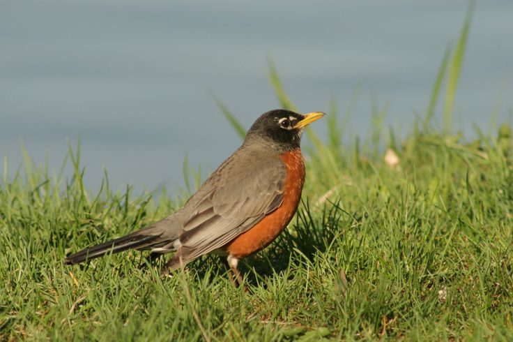 A wish made upon seeing the first robin in spring will come true---but only if the wish is completed before the robin flies away.: Backyard Birds, American Robin, State Birds, Folklore, Robins, Gorgeous Birds, Beautiful Birds, U.S. States, Official Birds