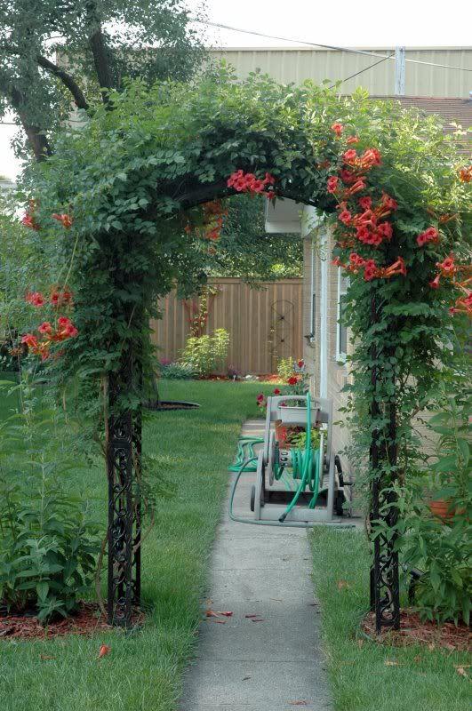 Trumpet Creeper | Trumpet Vine Questions   Cottage Garden Forum   GardenWeb
