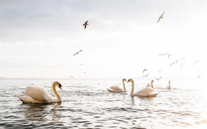 Scarica sfondi Mare, cigni, gabbiani, uccelli bianchi, bellissimi uccelli, tramonto