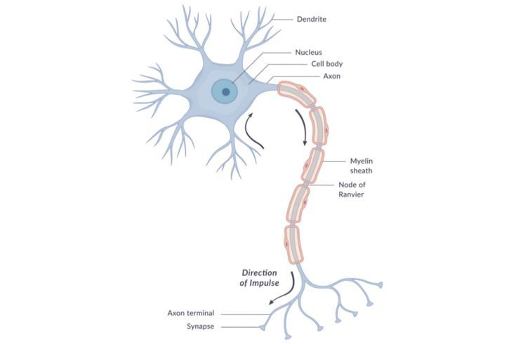Explore The Anatomy Of Neurons Cell Diagram Nerve Cell Neurons