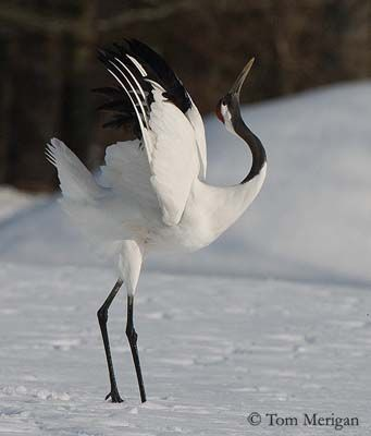 Red-crowned Crane                                                                                                                                                                                 More