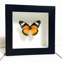 Vlinder in lijst Cethosia Cyane. In deze lijst zit een Cethosia Cyane vlinder. Deze vlinder komt voor van India tot Zuid China.