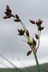 Søkogleaks - Scirpus Lacustris. Man kan naturligvis flette med meget andet end med Søkogleaks - Scirpus Lacustris. Søgræs. Navnet søgræs er egentlig i handlen betegnelse for spunden siv eller stararter. Søkogleaks (Scirpus Lacustris) kan blive 2,5 meter og vokser på vanddybder indtil 2 meter. Findes ved de fleste søer og åer i store bestande. De svampede stængler har småkårsfolk anvendt til fletning af mangfoldige redskaber, både til hjemmet og til videresalg. Her kan bl.a. nævnes sivsko…