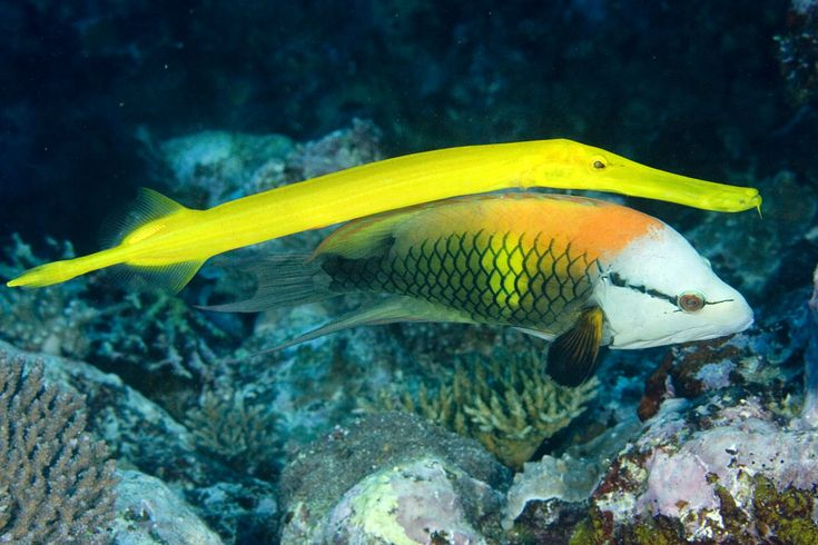 150 best animals aquatic images on pinterest marine for Yellow tropical fish