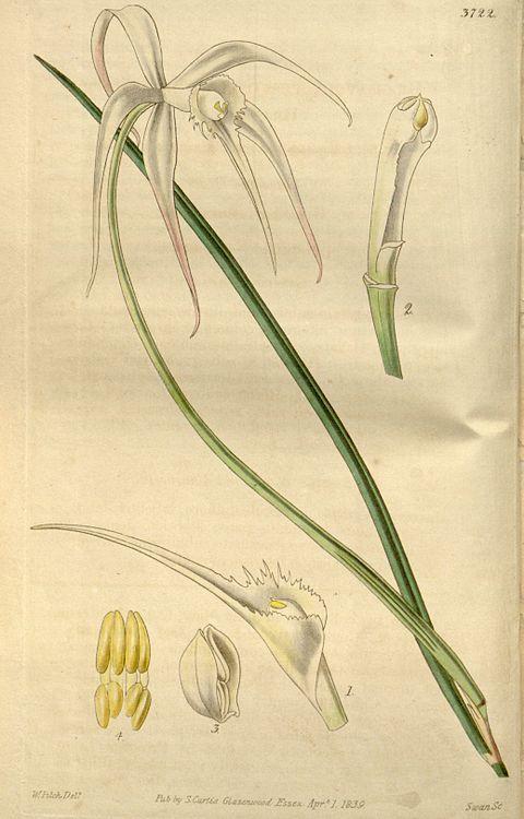 Brassavola cucullata - Wikipedia, la enciclopedia libre