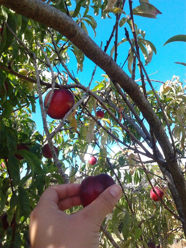 Sometimes you have to reach that lil further to get the best fruit. Gisborne, NZ