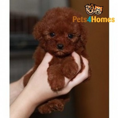 red teddy bear toy poodle - i would really like one, to complete our gang