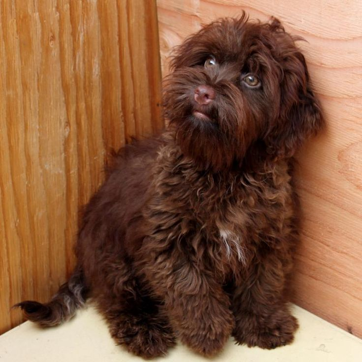 Chocolate Brown Havanese Puppies For Sale