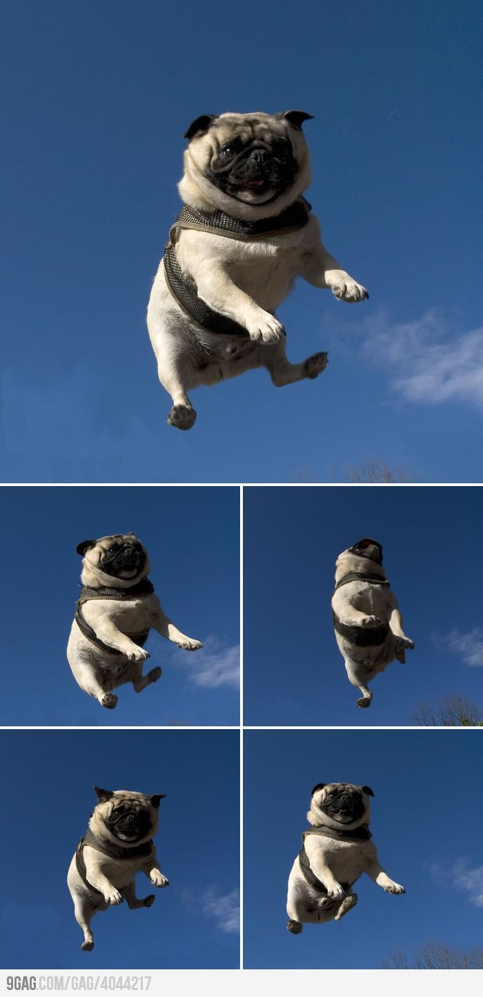 Flying Pug. omg.