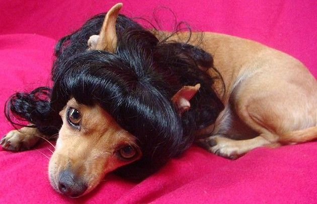 Funny Dogs with Wigs 07