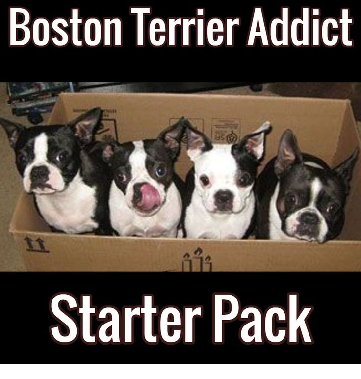 Funny Boston Terrier Picture - a Boston Terrier Addict Starter Pack!  I'll take 3 packs, please!