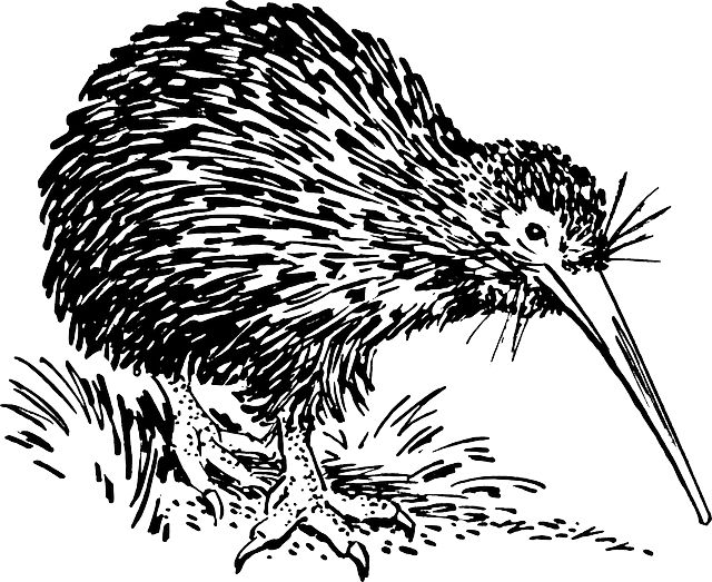 Public domain image of a kiwi bird for you to use in your kiwi-related units of work!