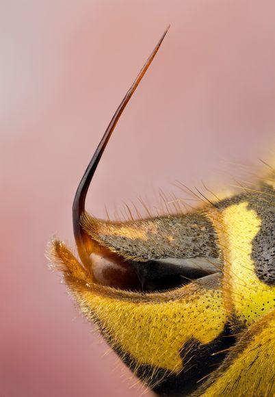 Chez les guêpes, l'aiguillon est lisse, sans dents ni harpons. De ce fait, elle peut donc agresser sa victime à volonté, plusieurs fois de suite, sans crainte d'y laisser la vie en perdant une partie de son abdomen. La piqûre de ces insectes a pour but d'injecter du venin pour se défendre ou pour défendre leur nid ou lorsqu'elles chassent. Le venin de guêpe est un mélange complexe de composés chimiques (enzymes, protéines et amines biogènes).