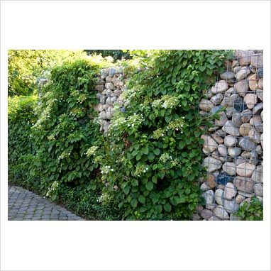 Gabion wall displaying creeper growth, using mesh for support.