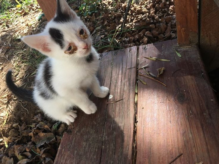 """A tiny kitten with infected eyes crawled out from under the porch and walked up to the owner of the property, meowing for help. Meet little Waldo.Photo: Gwensaur""""He literally just crawled out from under my porch,"""" reddit user Gwensaur said. """"I live in the country and people dump their animals and ki..."""