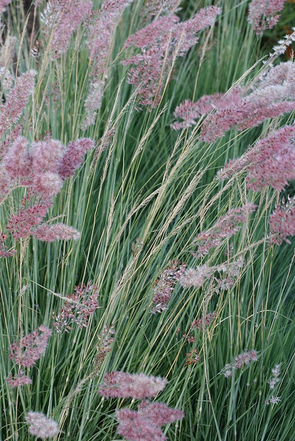 98 best images about graminaceae on pinterest gardens for Low growing ornamental grasses for sun
