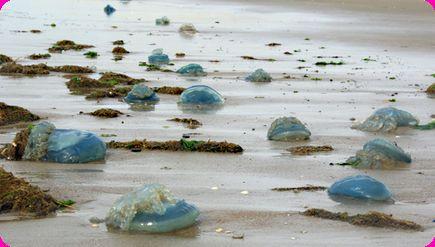 Zeepaddenstoel