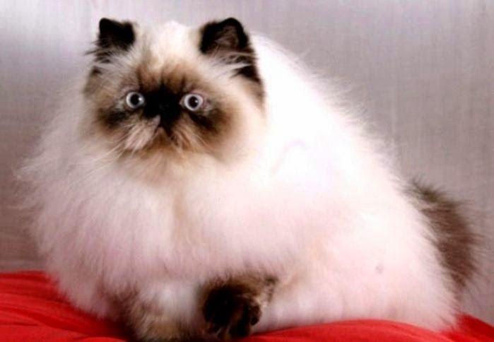 Jenis Kucing Paling Populer Di Indonesia | Japanindo Cute Culture